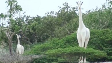 Photo of 2 Rare White Giraffes Are Killed by Poachers in Kenya