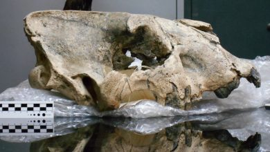 Photo of They Knew Saber-toothed Tigers Were Big. Then They Found This Skull.