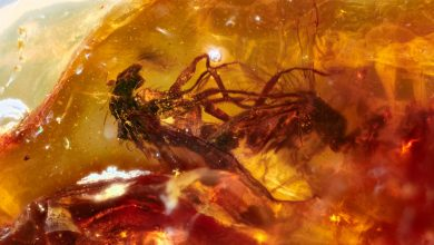 Photo of Scientists Find 2 Mating Flies Trapped in Prehistoric Amber