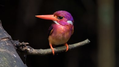 Photo of How an Eye Surgeon Got a Picture of This Rare Pastel Bird