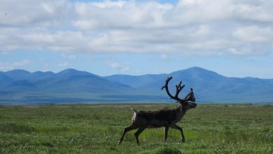 Photo of What the Caribou Taught Me About Being Together, and Apart