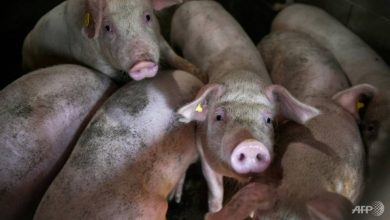 Photo of China reports African swine fever in pigs transported to Jiangsu province