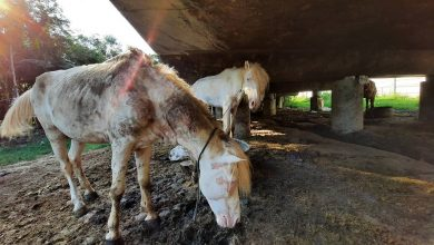 Photo of Malnourished coach horses bear the brunt as visitors stay away from Jakarta amid COVID-19