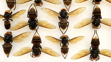 Photo of In Japan, the 'Murder Hornet' Is Both a Lethal Threat and a Tasty Treat