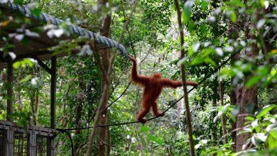 Photo of Coronavirus Puts Captive Orangutans' Return to the Wild on Hold