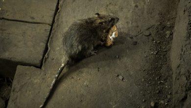 Photo of 'Aggressive' Rats May Increase During Pandemic, C.D.C. Says