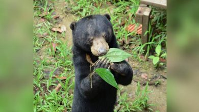 Photo of Adopt a sun bear or terrapin: Wildlife conservationists in Malaysia appeal for donations to ride out COVID-19 impact