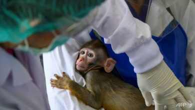 Photo of Thailand enters global race for vaccine with trials on monkeys