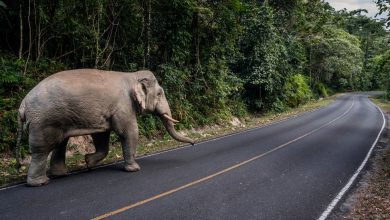 Photo of Elephants, Long Endangered by Thai Crowds, Reclaim a National Park
