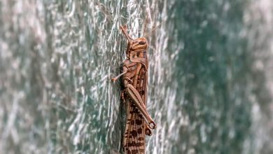 Photo of India's Capital Faces a 'Swarmageddon' of Locusts