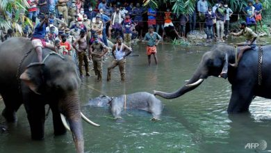 Photo of Pregnant elephant dies in India after eating explosive fruit trap