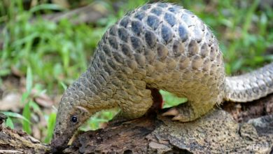 Photo of China removes pangolin from traditional medicine list