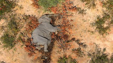Photo of 356 Elephants Died Suddenly. The Cause Is a Mystery.