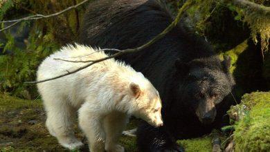 Photo of Spirit Bears' Hair Helps Reveal New Genetic Secrets