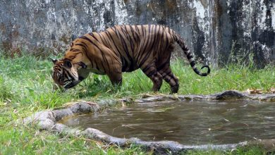 Photo of Myanmar Plan to Breed Protected Species in Captivity Draws Criticism