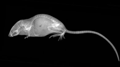 Photo of Cartilage Is Grown in the Arthritic Joints of Mice
