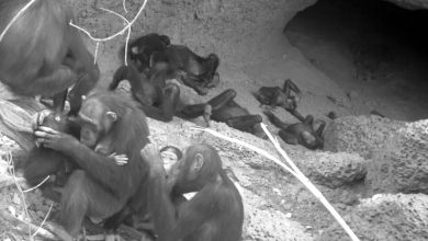 Photo of Mother Chimpanzees Know the Coolest Place in a Scorching Savanna
