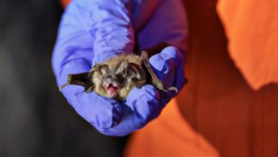 Photo of Can Humans Give Coronavirus to Bats, and Other Wildlife?