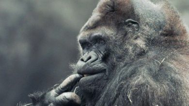 Photo of The remarkable true story of Ivan, the gorilla at the centre of Disney's new movie