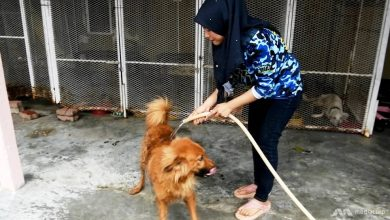Photo of The Malaysian couple fighting social stigma against dogs by rescuing injured animals