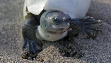 Photo of A Turtle With a Permanent Smile Was Brought Back From Extinction