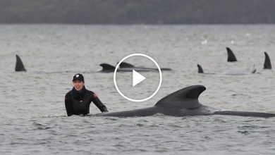 Photo of Hundreds of Whales Stranded in Australia