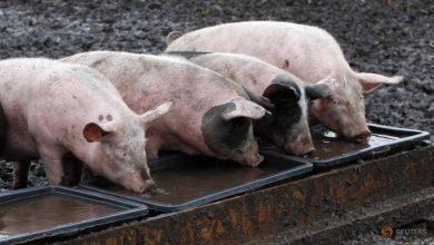 Photo of Japan suspends German pork imports after African swine fever case