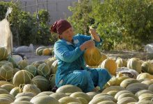 Photo of Bumper melon harvest sweetens Uzbekistan's COVID-19 pandemic woes