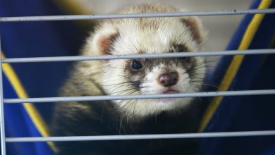 Photo of Nasal Spray Prevents Covid Infection in Ferrets, Study Finds