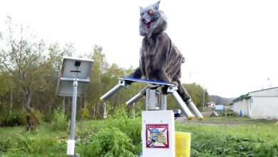 Photo of To Scare Off Wild Bears, Japanese City Calls In the 'Monster Wolf'