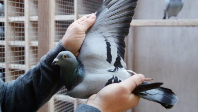 Photo of 'You Could Compare It to a Picasso': Pigeon Sells for $1.9 Million